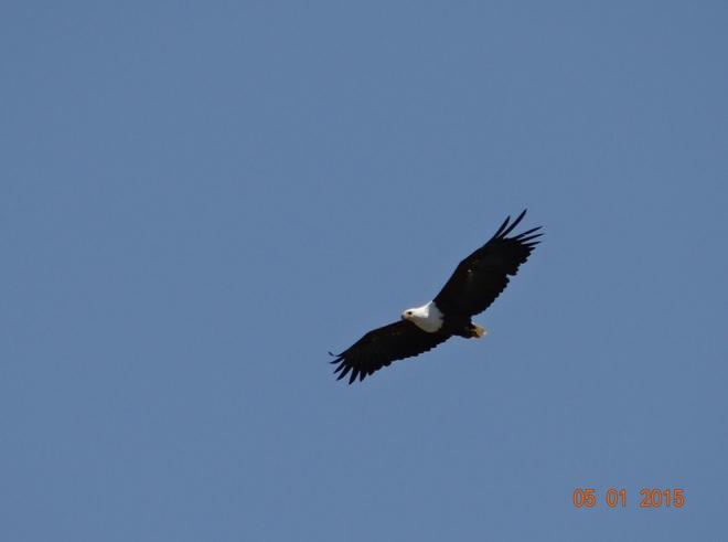 Fish eagle in flight at St Lucia on our Durban safari tour