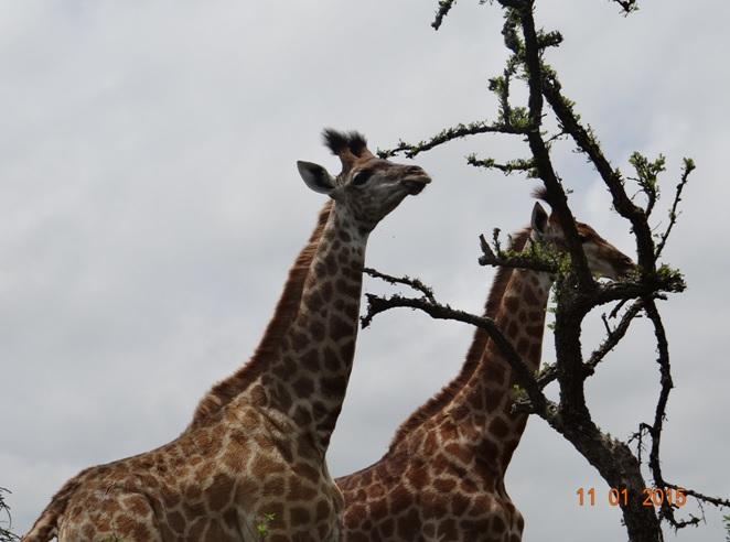 Giraffe on our Durban day safari
