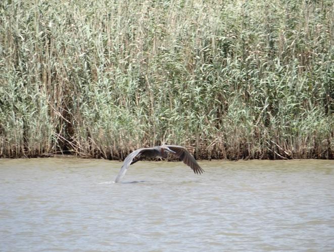 Goliath Heron in flight at St Lucia estuary on our Durban day safari tour