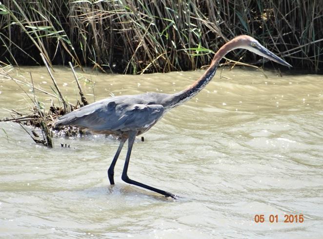 Goliath Heron seen at St Lucia on our Durban safari tour