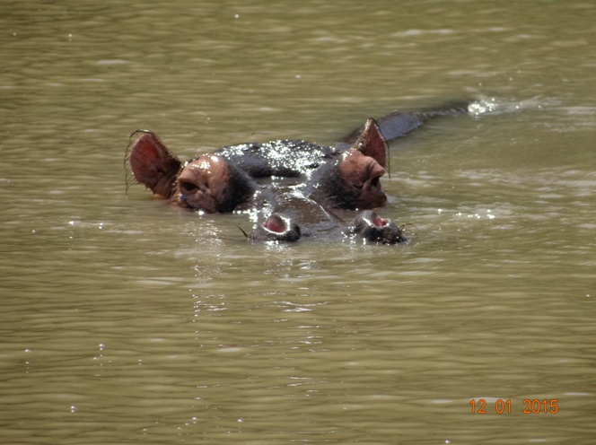 Hippo at St Lucia estuary Isimangeliso wetland park on our Durban day safari tour