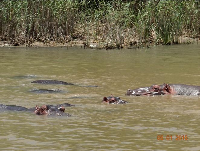 Hippos at St Lucia on our Durban safari tour