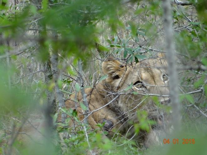 Lioness with broken leg on our Durban safari tour