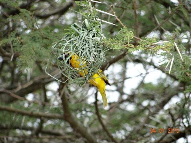 Masked Weaver makes his nest on our Durban safari tour