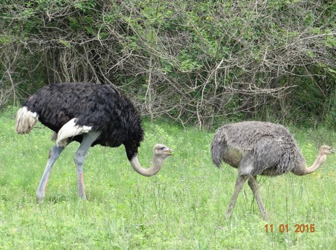 Ostriches on our Durban day safari