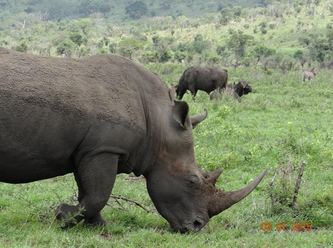 Rhino, Buffalo and Zebra in one photo seen in Hluhluwe Imfolozi game reserve