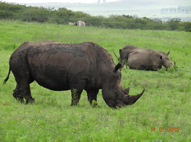 Rhino on our Durban day safari