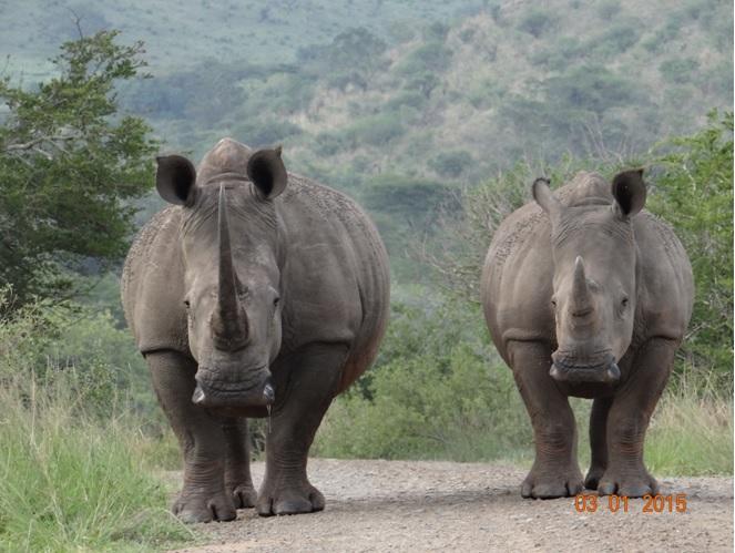 Rhino road block on our Durban safari tour