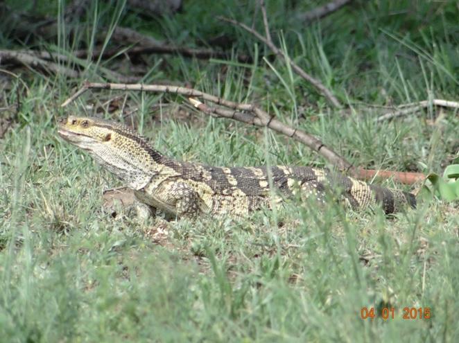 Rock Monitor seen on our Hluhluwe Imfolozi safari