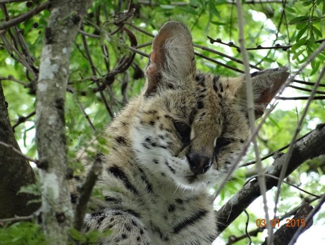 Serval cat seen on our Durban safari tour