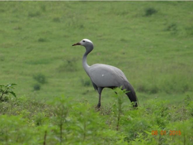 South Africas national bird the Blue Crane