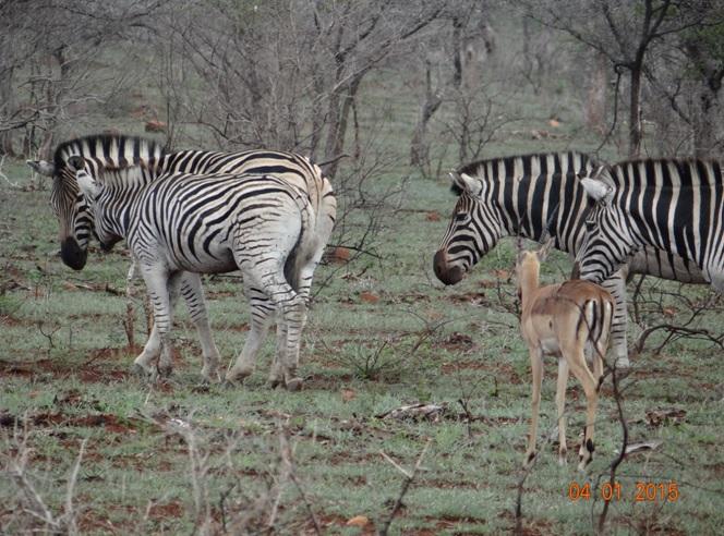 Zebra and Impala on our Durban safari tour