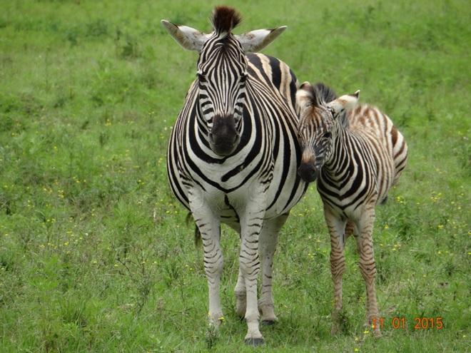 Zebra on our Durban day safari