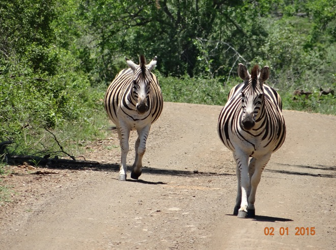 Zebra walking down the road during our Safari near Durban
