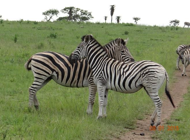 Zebras on our Durban safari tour to Tala game reserve