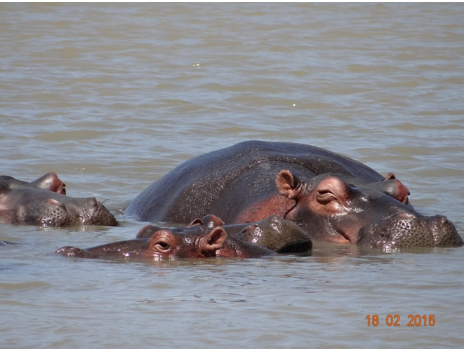 Durban 2 day safari; St Lucia Hippos