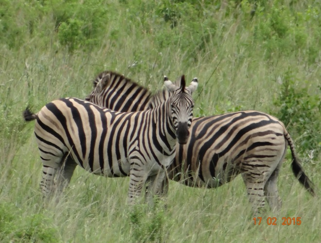 Durban 2 day safari; Zebra