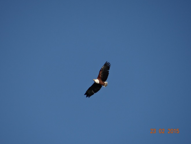 Durban 2 day safari tour; African fish eagle in flight
