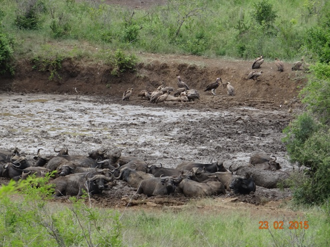 Durban 2 day safari tour; Buffalo in the mud while Vultures feed on a carcas