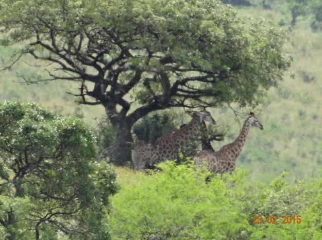 Durban 2 day safari tour; Giraffe