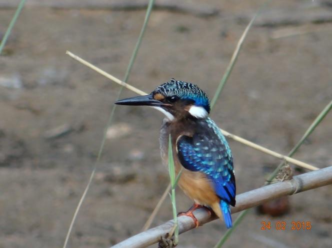 Durban 2 day safari tour; Half collared Kingfisher
