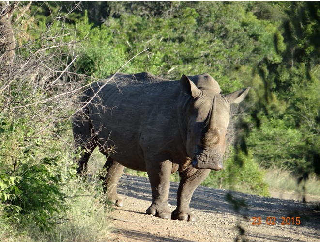 Durban 2 day safari tour; Rhino on the road
