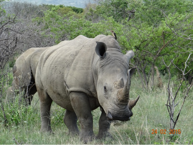 Durban 2 day safari tour; Rhino