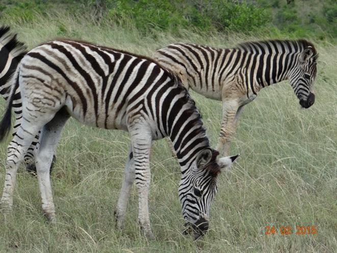 Durban 2 day safari tour; Zebra fouls