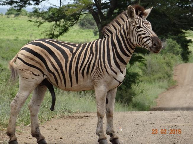 Durban 2 day safari tour; Zebra showing off