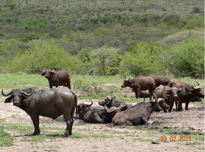 Durban day safari; Buffalo mud wallowing