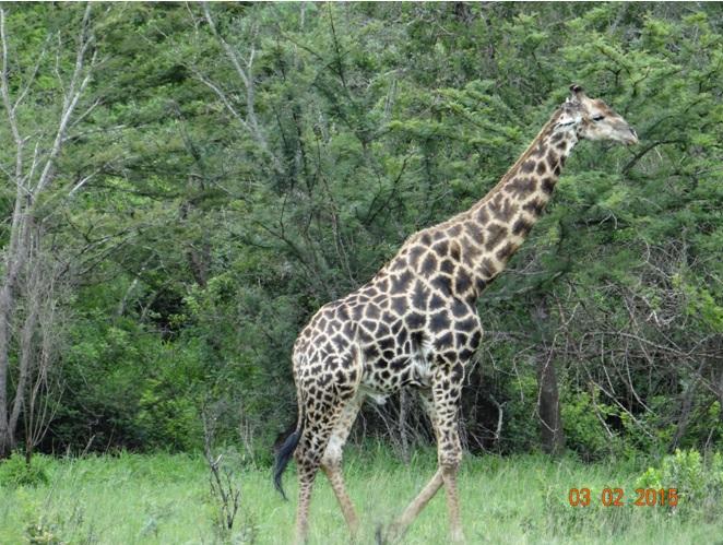 Durban day safari; Giraffe