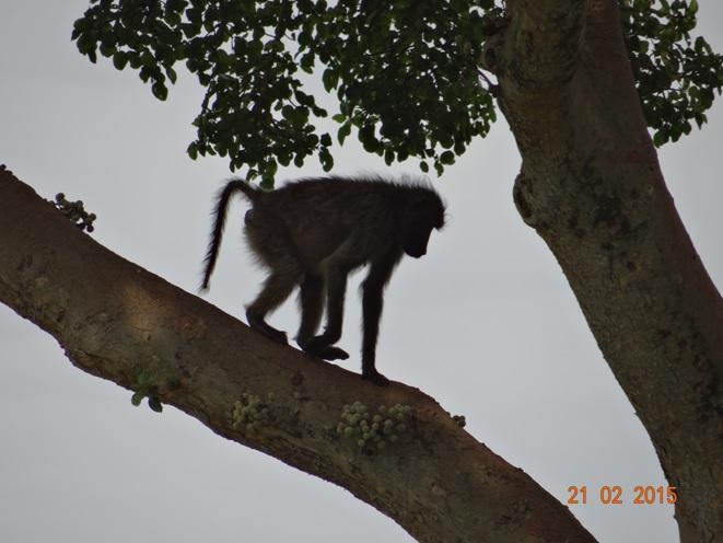 Durban day safari tour; Baboon