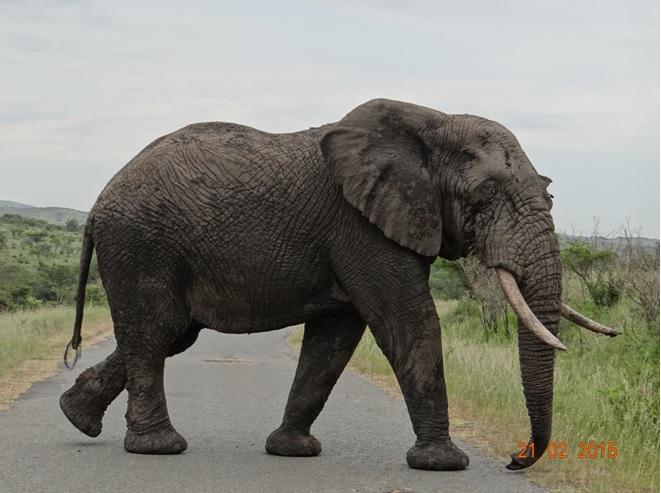 Durban day safari tour; Elephant crossing road