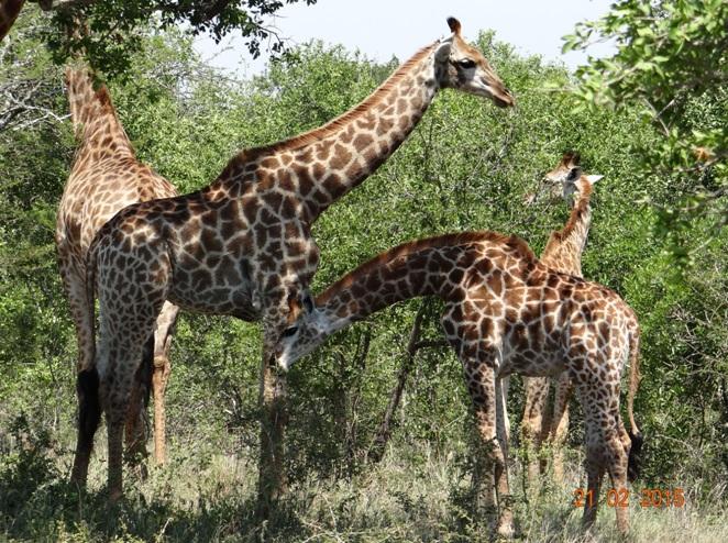 Durban day safari tour; Giraffe