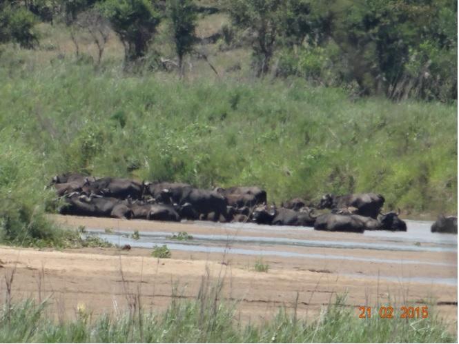 Durban day safari tour; Herd of Buffalo