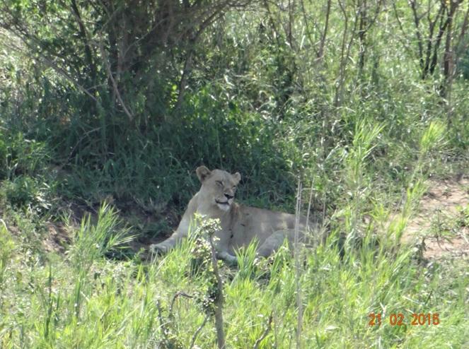Durban day safari tour; Lioness
