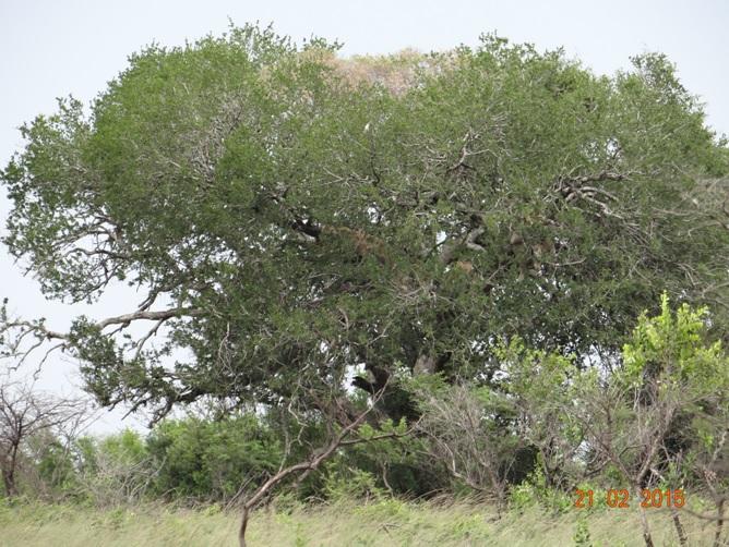 Durban day safari tour; Lions in a tree