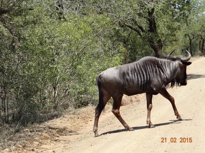 Durban day safari tour; Wildebeest