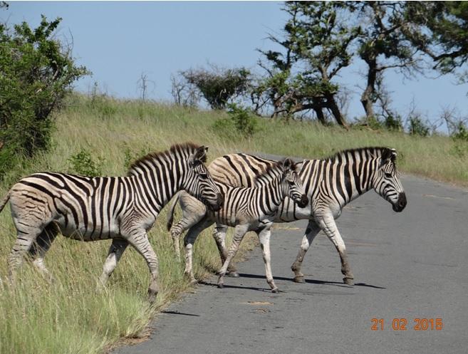 Durban day safari tour; Zebra crossing