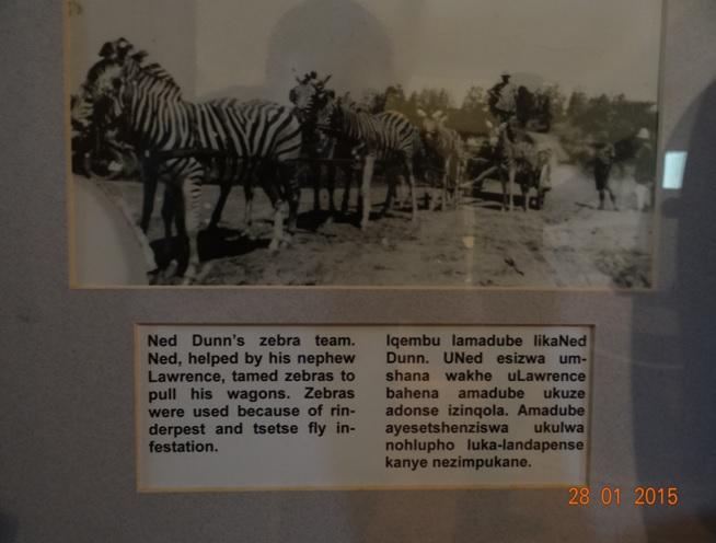 Durban safari tour in KwaZulu Natal; Zebras pulling a cart