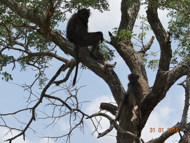 Durban safari tours; Baboon in the tree