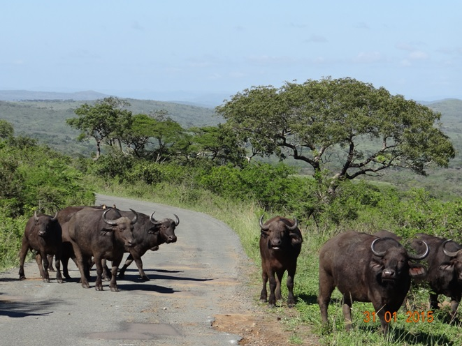 Durban safari tours; Buffalos