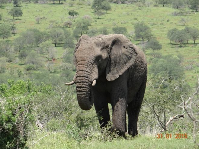 Durban safari tours; Elephant Bull