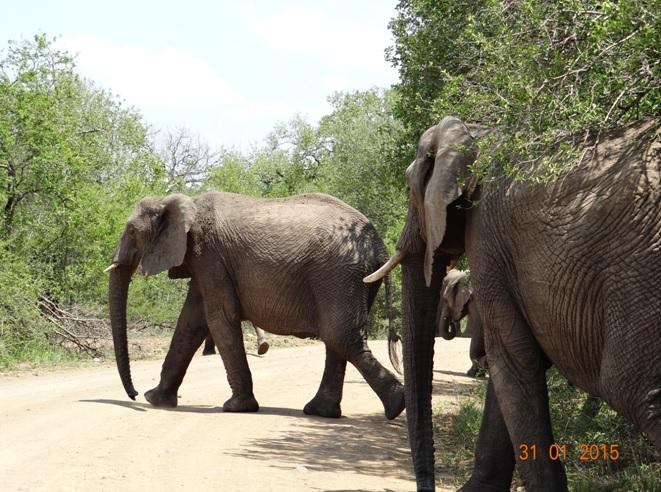 Durban safari tours; Herd of Elephant crossing road