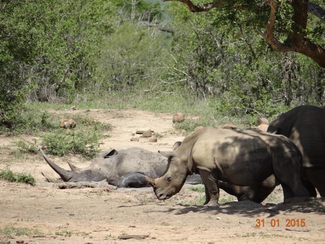 Durban safari tours; Rhinos in Mud