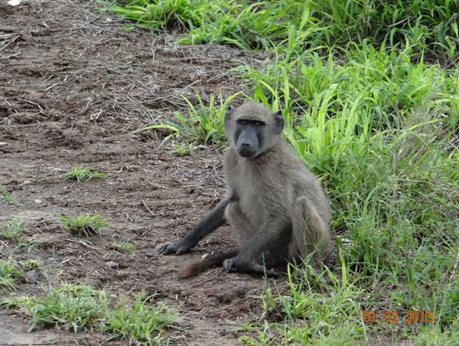 Durban safaris; Baboon