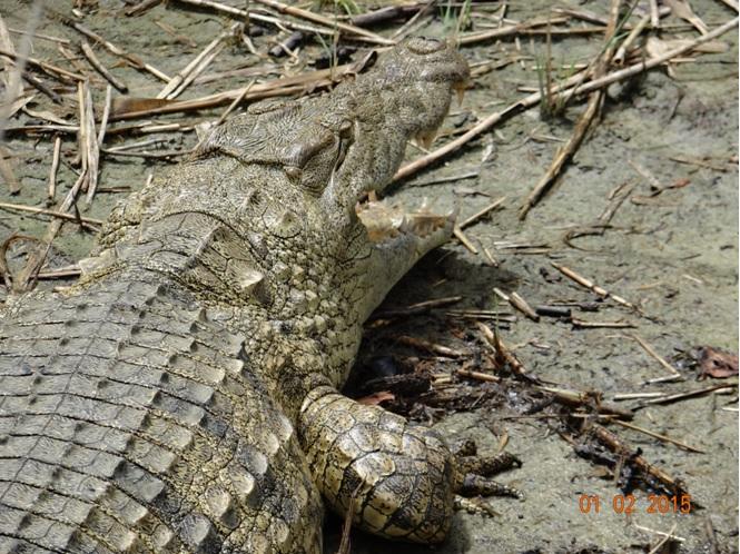 Durban safaris; Crocodile