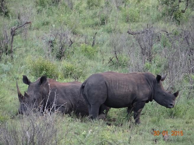 Durban safaris; Rhinos in Hluhluwe game reserve