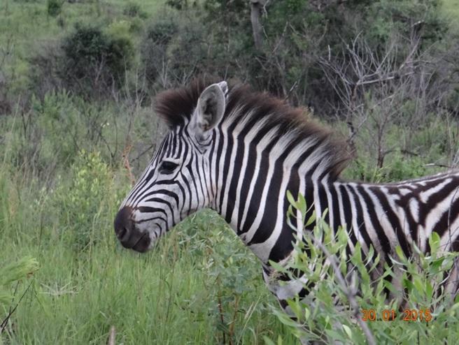 Durban safaris; Zebra in Hluhluwe game reserve