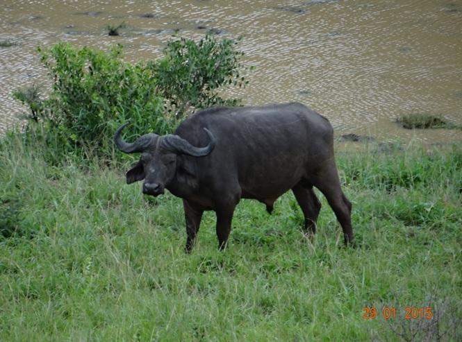 KwaZulu Natal safari tour from Durban; Buffalo bull at Hluhluwe Imfolozi game reserve